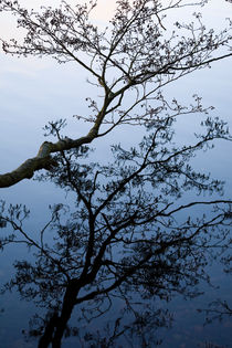 Alder tree branch with reflection in water by kbhsphoto