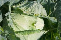 White cabbage by kbhsphoto