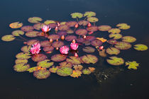Pink water lilies by kbhsphoto