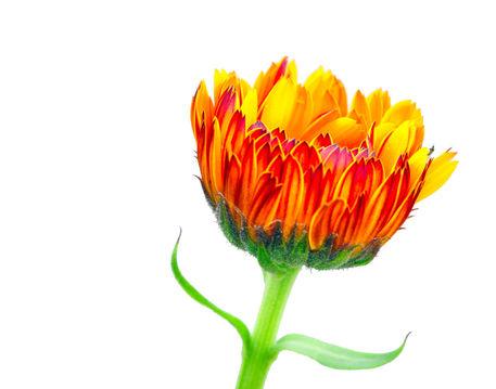 Orange-calendula