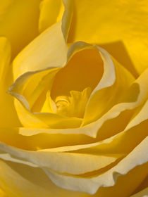 Rose-close-up
