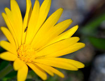 Yellow Wildflower by bill