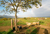 SHEEPS - Sardinia von captainsilva