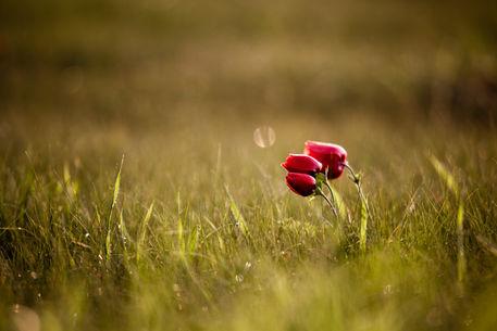 Poppies-empty-field