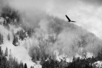 Bald eagle in foggy flight B&W by Chris Bidleman