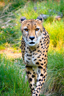 Cheetah stare down  by Chris Bidleman