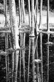 Snow covered tree trunks with reflections in water by kbhsphoto