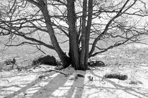 Trunks of Alder tree with shadows in snow von kbhsphoto