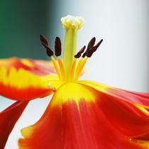 Tulip pistils by Katia Boitsova-Hošek