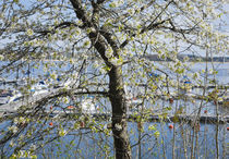 Blossoming cherry tree in front of marina by kbhsphoto