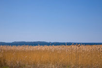 Autumn coloured reeds by the sea by kbhsphoto