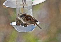 Sparrow on a feeder by David Freeman