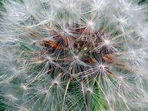 Dandelion by bill