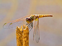 Dragonfly by kent