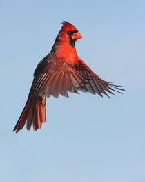 Red Hanger von Howard Cheek
