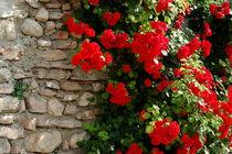Mauer mit Rosen von tinadefortunata