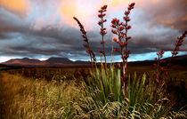Flowering Flax at Sunset Volcanic Plateau North Island New Zealand by Kevin W.  Smith