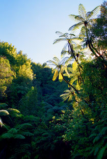 Punga Tree Ferns Forgotten World Highway New Zealand by Kevin W.  Smith