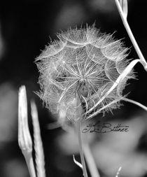 Dandelion Down by Tracy Bittner