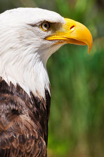 Bald eagle von Sami Sarkis Photography
