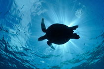 Silhouette of a Green Sea Turtle by Sami Sarkis Photography