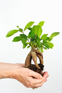 Hands holding a Ginseng Ficus bonsai by Sami Sarkis Photography