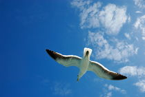 Seagull flying in the sky on blue sky von Sami Sarkis Photography