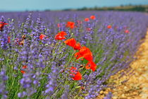 Poppies in a lavender field von Sami Sarkis Photography