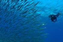 Diver looking at juveniles barracuda schooling near surface by Sami Sarkis Photography