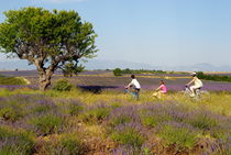 Family biking through lavenders fields by Sami Sarkis Photography