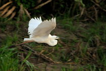 Great Egret in flight von Sami Sarkis Photography