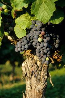 Grape on a vine on vineyards von Sami Sarkis Photography