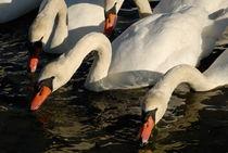 Swans drinking water in lake von Sami Sarkis Photography