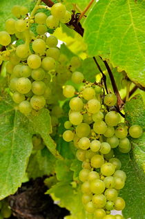 Green grapes on vineyards in summer von Sami Sarkis Photography