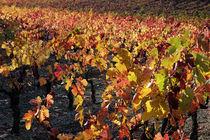 Vineyards at fall by Sami Sarkis Photography