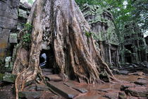 Strangler fig tree roots covering temple von Sami Sarkis Photography