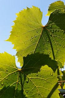 Water drops on vine leaf after rain von Sami Sarkis Photography