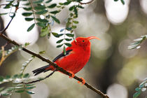 Iiwi bird on branch von Sami Sarkis Photography