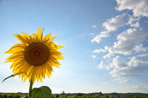 Sunflower by Sami Sarkis Photography