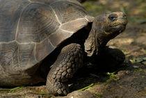 Galapagos giant tortoise  von Sami Sarkis Photography
