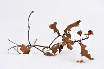 Dead branch with leaves on snow von Sami Sarkis Photography