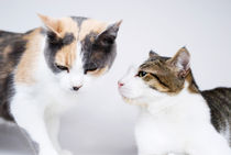 Two cats on white background by Sami Sarkis Photography