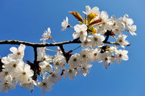 Almond tree in flower at spring by Sami Sarkis Photography