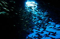 School of Glass fish in an underwater cave by Sami Sarkis Photography