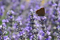 Butterfly gathering nectar from lavender flowers von Sami Sarkis Photography