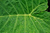 Water droplets on green leaf  after rain by Sami Sarkis Photography