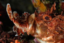 Close up of Scorpion Fish (Scorpaena Scrofa) eating fish von Sami Sarkis Photography