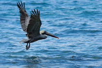 Brown Pelican (Pelecanus occidentalis) von Sami Sarkis Photography