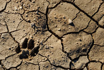 Animal footprint in cracked mud surface von Sami Sarkis Photography