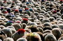 Flock Of Sheep Leaving Esperou Village For  Transhumance von Sami Sarkis Photography